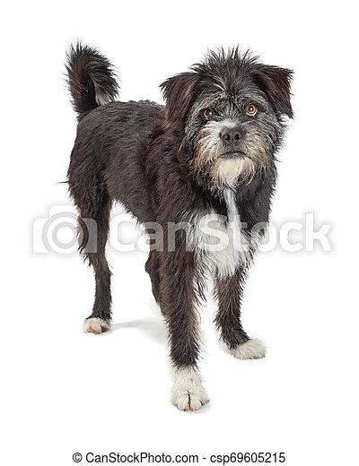 Mixed large black terrier scruffy dog