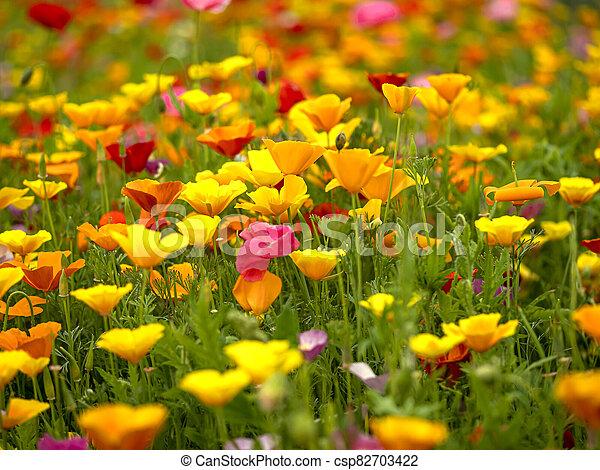 Mixed poppy display in a summer garden - csp82703422