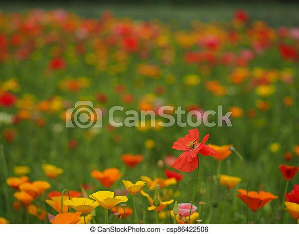 Mixed poppy display in a summer garden - csp86422506