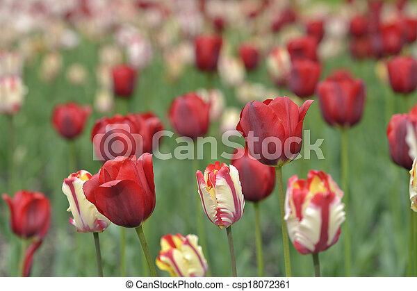 mixed tulips in a garden - csp18072361