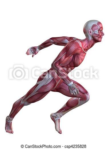 modèle, muscle, 3d - csp4235828