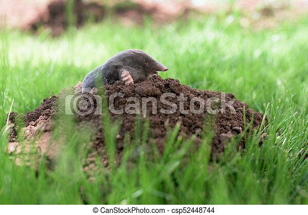 Mole in a garden - csp52448744