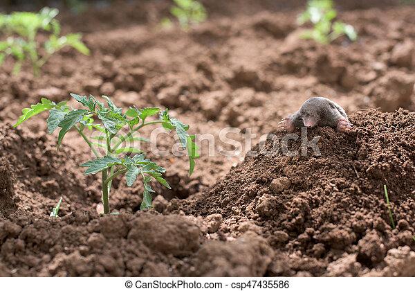 Mole in a vegetable garden - csp47435586
