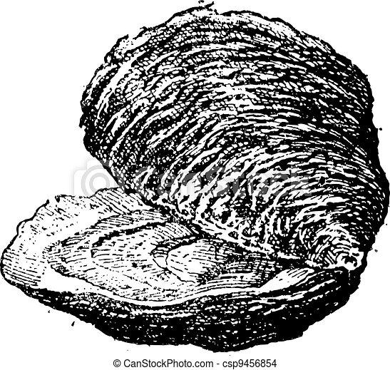 mollusc), (bivalve, ouderwetse , oester, engraving. - csp9456854