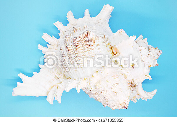 mollusk shell close-up on a blue background, - csp71055355