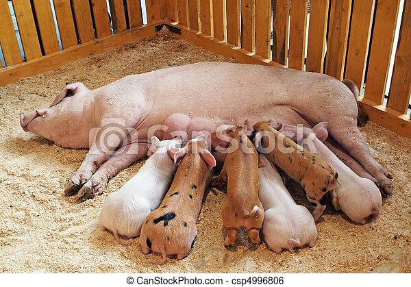 Momma pig feeding piglets - csp4996806