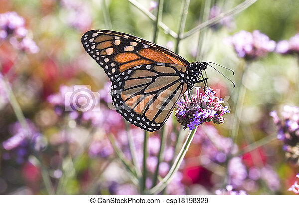 Monarch Butterfly 1 - csp18198329