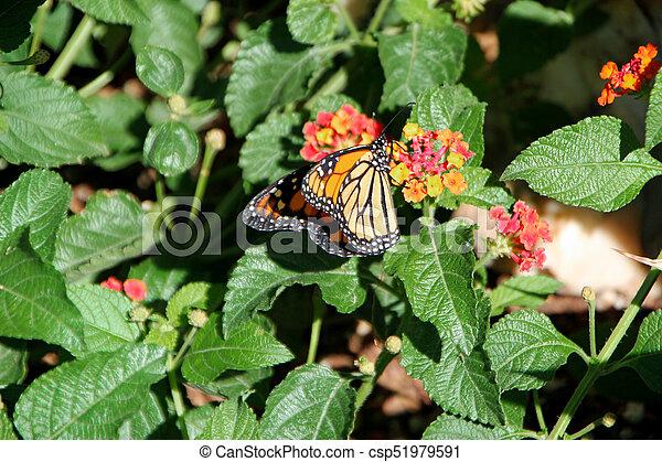 Monarch Butterfly At Desert Botanical Garden Phoenix, AZ   Csp51979591