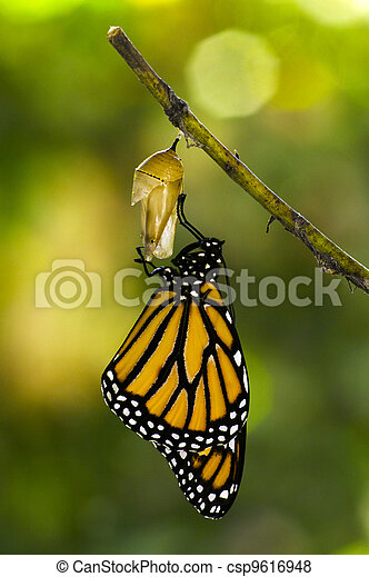 Monarch Butterfly Birth - csp9616948