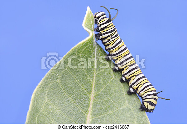 Monarch Butterfly Caterpillar (danaus plexippus) - csp2416667