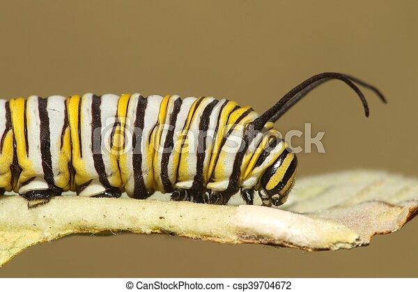 Monarch Butterfly Caterpillar (danaus plexippus) - csp39704672