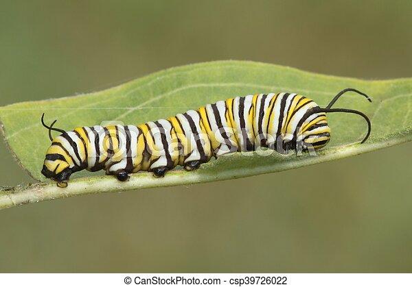 Monarch Butterfly Caterpillar (danaus plexippus) - csp39726022