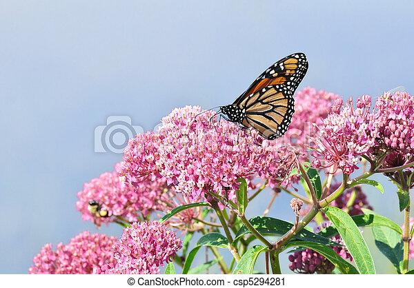 Monarch Butterfly (Danaus plexippus) on Swamp Milkweed Wildflower - csp5294281