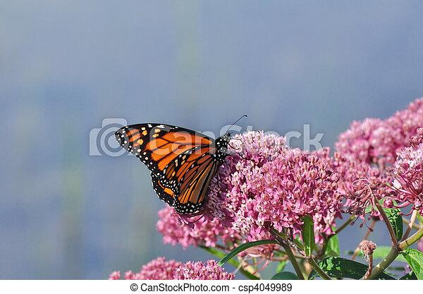 Monarch Butterfly (Danaus plexippus) on Swamp Milkweed Wildflower - csp4049989