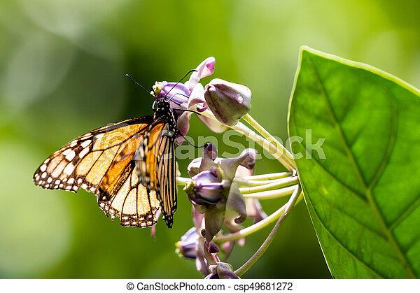 Monarch butterfly (Danaus plexippus) - csp49681272