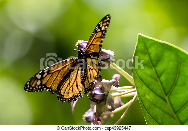 Monarch butterfly (Danaus plexippus) - csp43925447