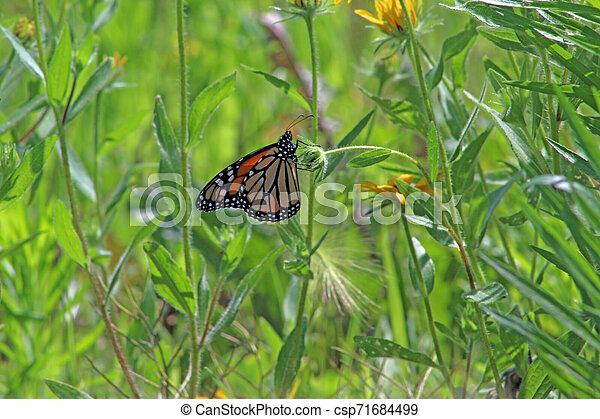 Monarch butterfly in meadow - csp71684499
