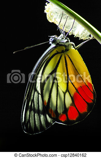 Monarch Butterfly, Milkweed Mania, baby born in the nature. - csp12840162