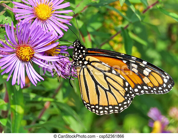 Monarch butterfly on a purple wild aster - csp52361866