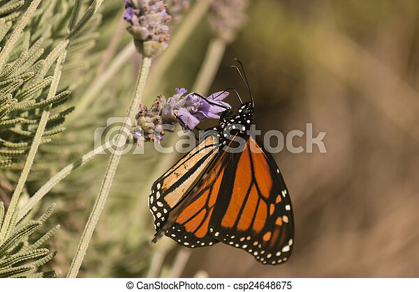 Monarch butterfly on lavender - csp24648675