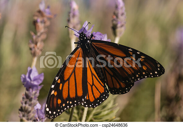 Monarch butterfly on lavender - csp24648636