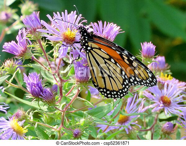 Monarch butterfly on purple wild asters - csp52361871
