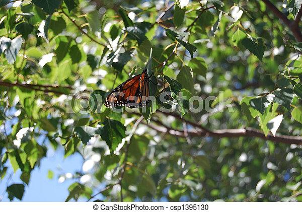 Monarch Butterfly on Silver Birch Tree - csp1395130