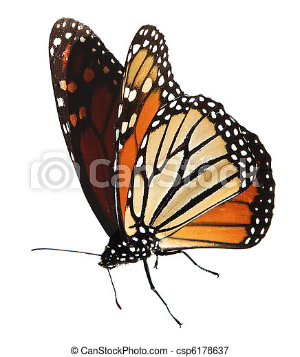 Monarch butterfly - csp6178637
