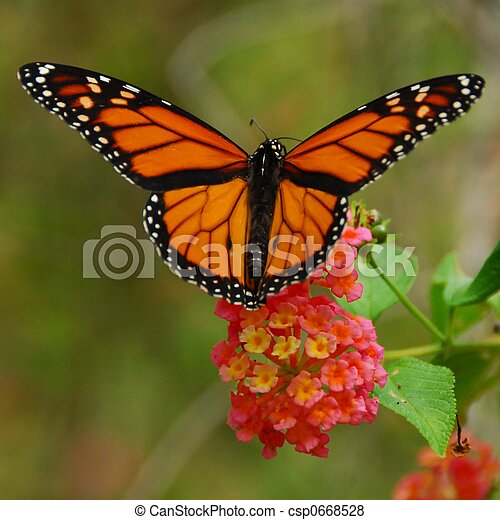 Monarch Butterfly - csp0668528