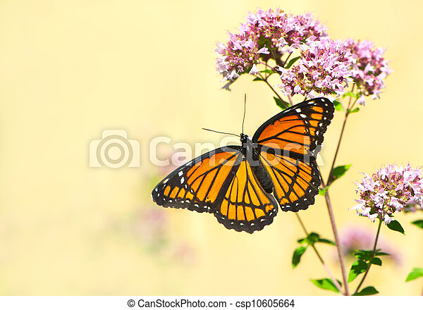 Monarch butterfly. - csp10605664