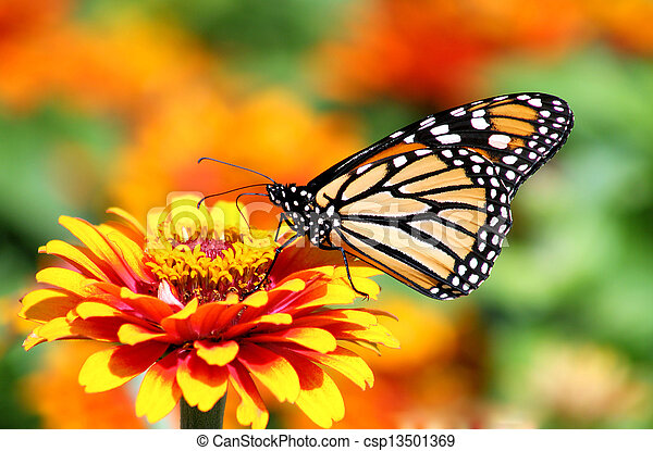 Monarch Butterfly - csp13501369