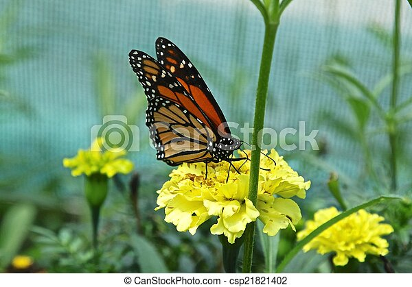 Monarch butterfly - csp21821402