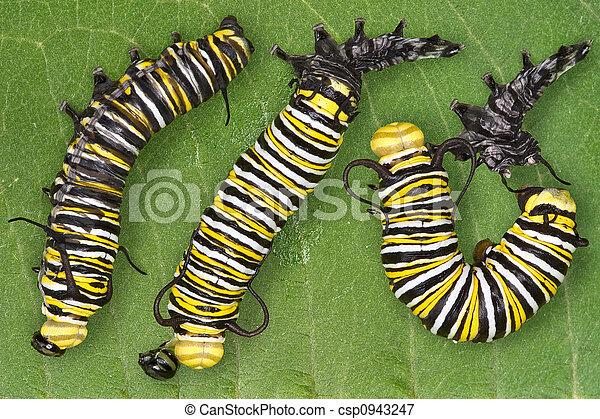 Monarch caterpillar shedding - csp0943247