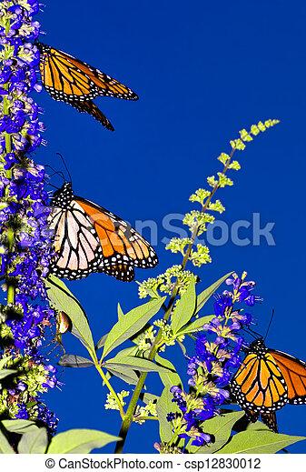 Monarch Migration - csp12830012