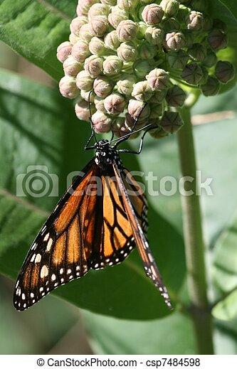 Monarch on milkweed - csp7484598