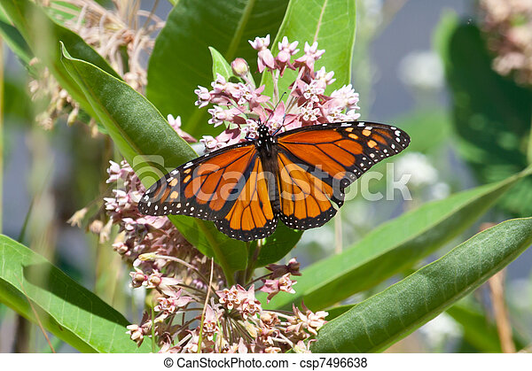 Monarch on milkweed - csp7496638