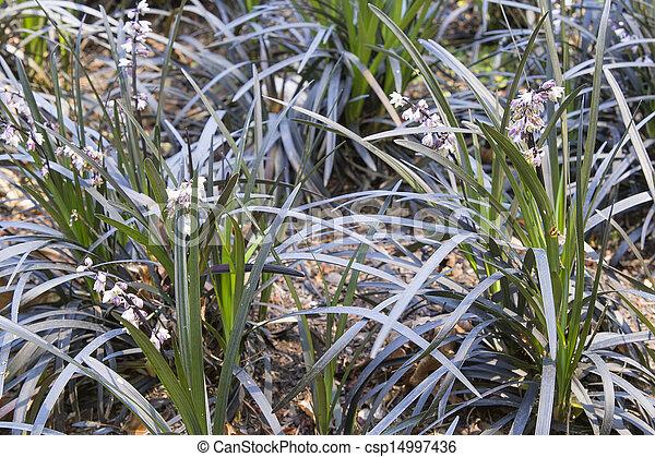 Schwarzer Mondogras mit Blumen in der Nähe - csp14997436
