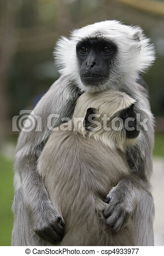 Monkey Baby with mother - csp4933977