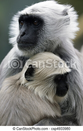 Monkey Baby with mother - csp4933980