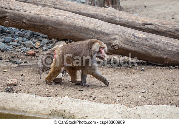 Monkey in Tbilisi, the world of animals - csp48300909