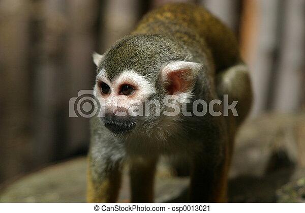Monkey - csp0013021