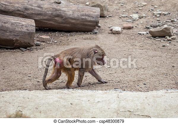 Monkey - csp48300879