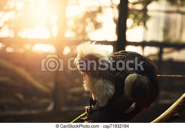 Monkey - csp71932184