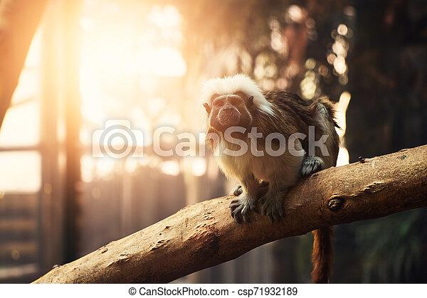 Monkey - csp71932189