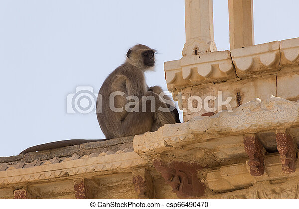 monkey sleeping on wall of temple - csp66490470