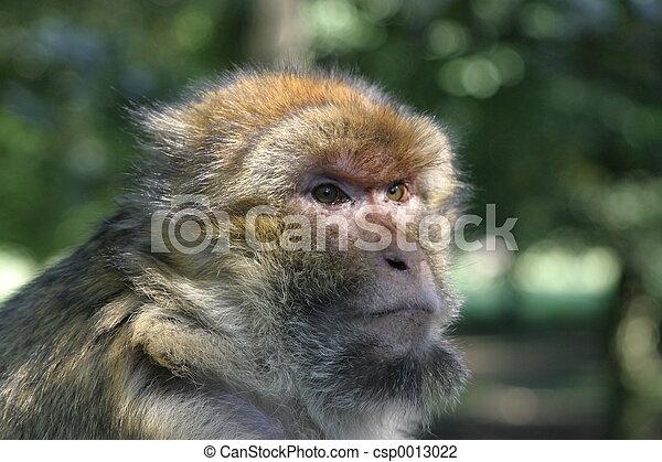 Monkey - csp0013022