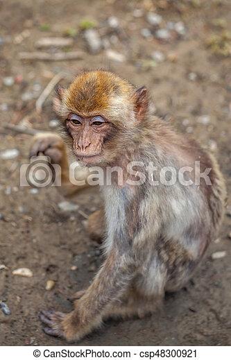 Monkey - csp48300921