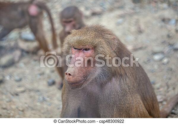 Monkey - csp48300922