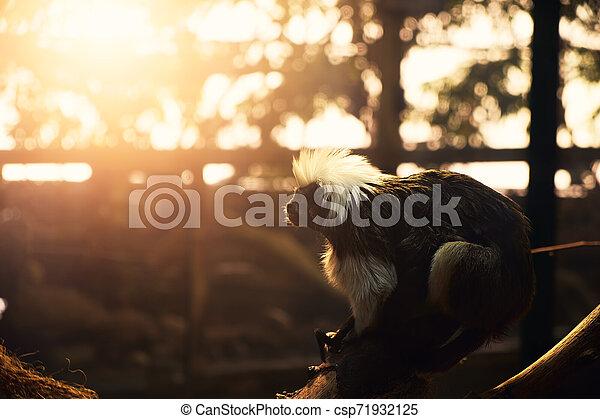 Monkey - csp71932125