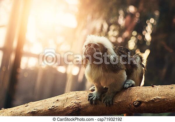 Monkey - csp71932192